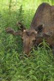 Bull moose feeding Royalty Free Stock Photos