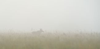 Bull moose in the fog Stock Photos