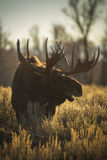 Bull Moose Stock Photo