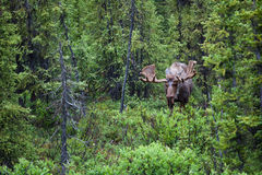 Bull moose in the forrest Royalty Free Stock Photo