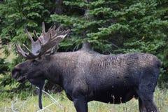 Bull moose. Full grown bull moose in Montana Royalty Free Stock Image