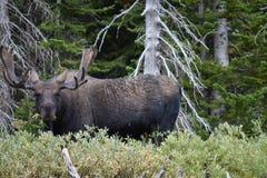 Bull moose. Full grown bull moose in Montana Stock Images