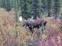 A Bull Moose Stock Photography