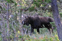 Bull Moose in Glacier National Park. A young bull moose in Glacier National Park Stock Photos