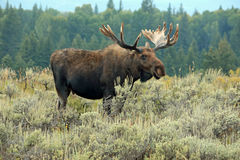 Bull moose. In Grand Teton National Park, Wyoming, USA stock images