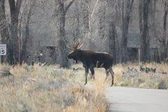 Bull Moose Royalty Free Stock Photos
