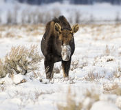Bull moose that has lost antlers digging in deep snow for food i Stock Photo