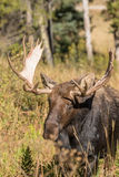 Bull Moose Head On Stock Photography