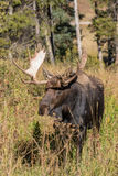 Bull Moose Head On in Fall Royalty Free Stock Images