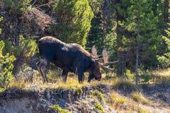 Bull Moose Stock Images