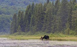 A Bull Moose with huge velvet antlers Alces alces grazing in the marshes of Opeongo lake in Algonquin Park, Canada. Bull Moose with huge velvet antlers Alces stock photos