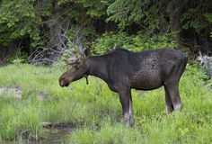 A Bull Moose with huge velvet antlers Alces alces grazing in the marshes of Opeongo lake in Algonquin Park, Canada. Bull Moose with huge velvet antlers Alces royalty free stock images