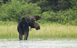 A Bull Moose with huge velvet antlers Alces alces grazing in the marshes of Opeongo lake in Algonquin Park, Canada. Bull Moose with huge velvet antlers Alces royalty free stock image