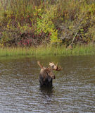 Bull Moose Royalty Free Stock Image