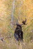 Bull Moose Looking Away Royalty Free Stock Photos