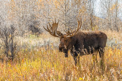 Bull Moose Royalty Free Stock Photography
