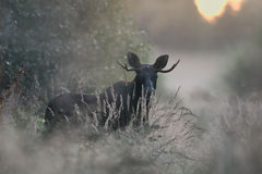 Bull Moose in the mist Royalty Free Stock Photos