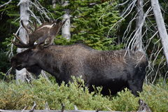 Bull moose Royalty Free Stock Image