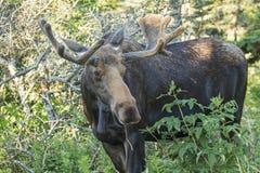 Bull Moose Munching Stock Images
