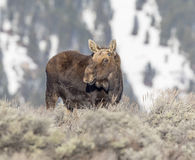 Bull moose with new antler buds on head Royalty Free Stock Photography