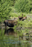 Bull moose in pond. A bull moose eats the vegeation in a seasonal pond in Grand Teton national park Stock Image