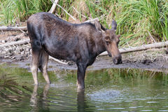 Bull Moose in Pond Royalty Free Stock Photography