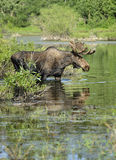 Bull moose in pond. A bull moose walks through a seasonal pond in Grand Teton national park stock images