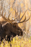 Bull Moose Portrait. A close up of a big bull moose Stock Photography