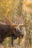 Bull Moose Portrait Royalty Free Stock Photos