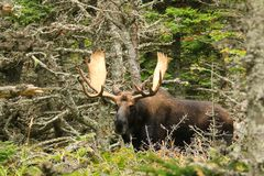 Bull Moose. Poses in the forest in Nova Scotia, Canada Royalty Free Stock Photo
