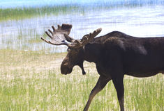 Bull Moose Ready to Charge Royalty Free Stock Images