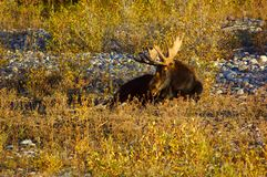 Bull Moose in the River Bed. Bull Moose lying down in a dry river bed Royalty Free Stock Photography