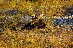 Bull Moose in the River Bed. Bull Moose lying down in a dry river bed Stock Images