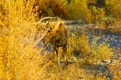 Bull Moose in the River Bed. Bull Moose strolling in a dry river bed Stock Images