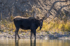 Bull Moose in River Stock Photography