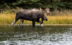 A Bull Moose in the River Stock Images