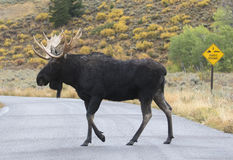 Bull moose on road Royalty Free Stock Images