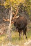 Bull Moose Stock Photography