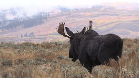 Bull Moose in Rut