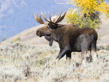 Bull moose in sagebrush looking for cow moose Royalty Free Stock Images
