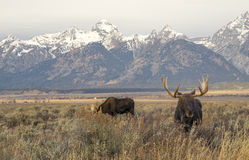 Bull moose in sagebrush meadow with mountains in the background Royalty Free Stock Image