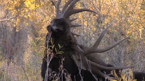 Bull Moose Scratching Close Up stock video