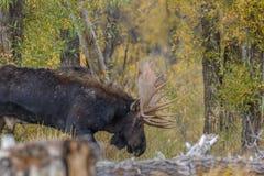 Bull Moose Stock Image