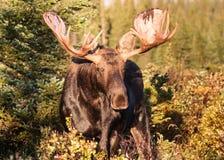 Bull Moose. Shiras bull moose in the Rocky Mountains of Colorado Royalty Free Stock Photo