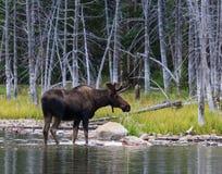 Bull Moose. Shiras bull moose in the Rocky Mountains of Colorado royalty free stock photos