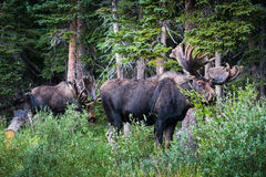 Bull Moose. Shiras bull moose in the Rocky Mountains of Colorado Royalty Free Stock Image