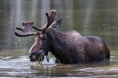 Bull Moose. Shiras bull moose in the Rocky Mountains of Colorado stock photography