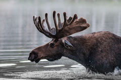 Bull Moose. Shiras bull moose in the Rocky Mountains of Colorado stock photos