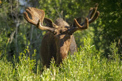 Bull Moose. A bull moose shows off his impressive growing rack, which is still wrapped in velvet. Taken in Grand Teton National Park, Wyoming Stock Photography