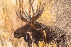 Bull Moose Side Portrait Royalty Free Stock Photos